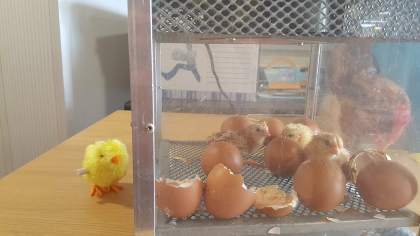 Chicks hatch just in time for Easter at Lennox House